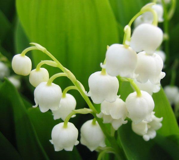 すずらん。結婚式にふさわしいとされる花。  フランスでのすずらんの花言葉は、 ・ずっと前から好きでした ・幸福の再来 ・さりげないお洒落 ・仲直りしましょう ・あなたの美しさ以上に  あなたを飾るものはありません  日本でのすずらんの花言葉は、 ・幸福が帰る ・幸福の再来 ・意識しない美しさ ・純粋 ・癒し ・平静