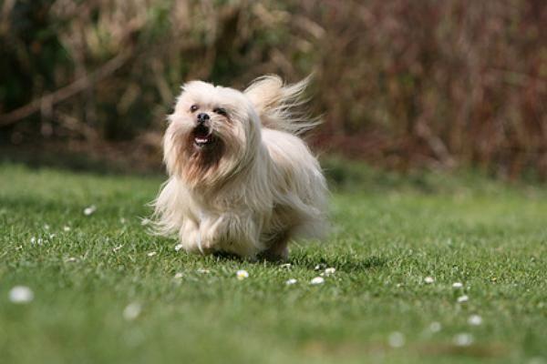 tibetischer-terrier.jpg (600×400)