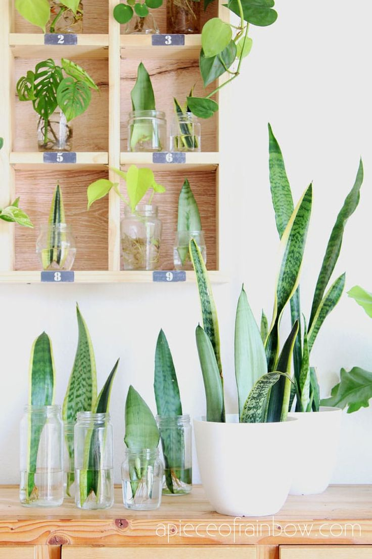 Snake Plant Care & 5 Amazing Benefits of Sansevieria in ...