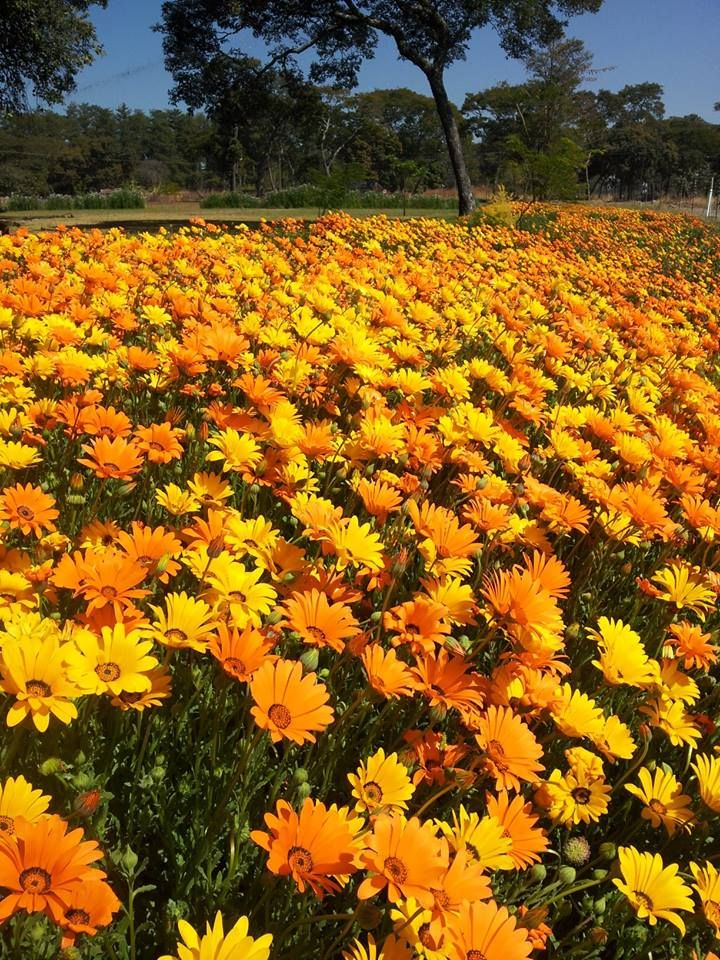 Namaqualand daisies in Mkushi Zambia by Debbie Badcock July 2013