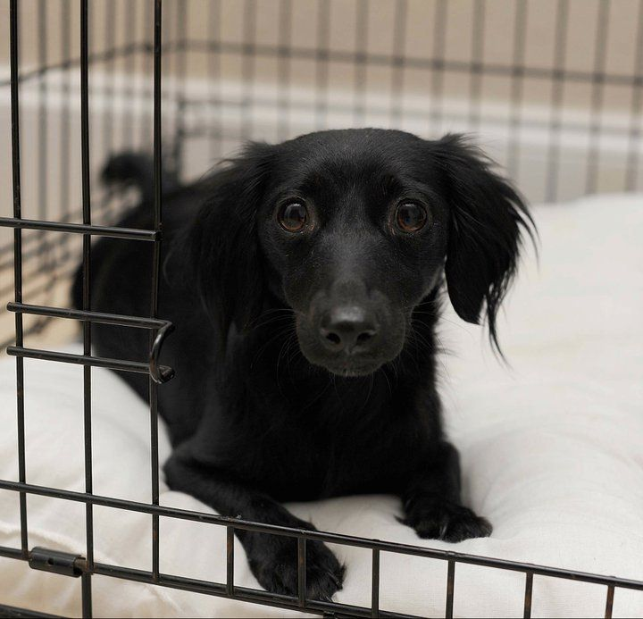 17 Best Images About Pet Friendly Flooring On Pinterest: All Black Dachshund Puppies Long Hair
