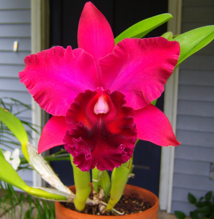 Best orchids images on pinterest plants and