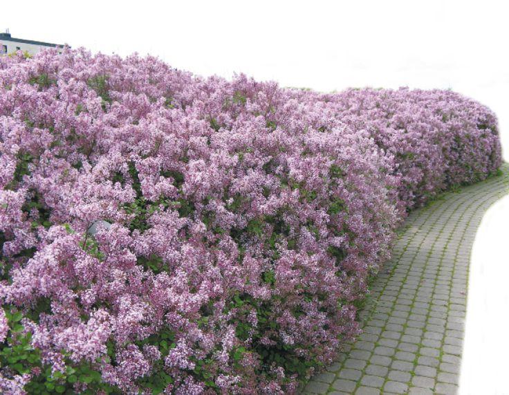 Portal Agrotechnika | Hortpress_żywopłot z lilaka
