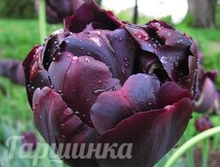 Тюльпан Black Hero махровый 5шт