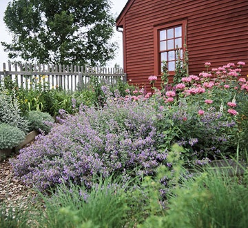 'Walkers low' Catmint - want for our front garden