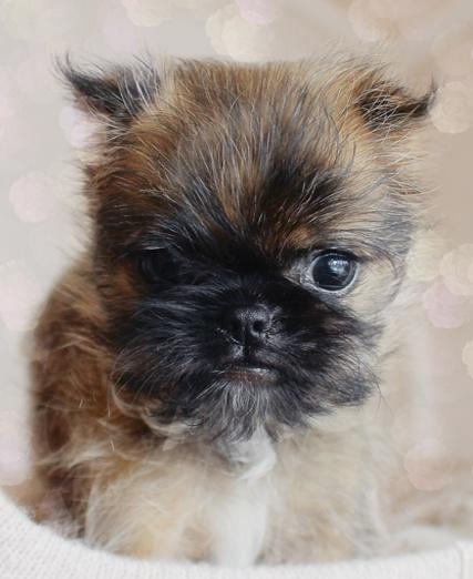 Best 25 Brussels Griffon Puppies Ideas On Pinterest
