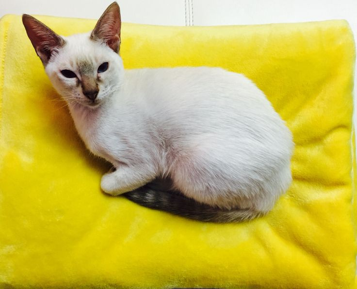 Dexter Siamese cat