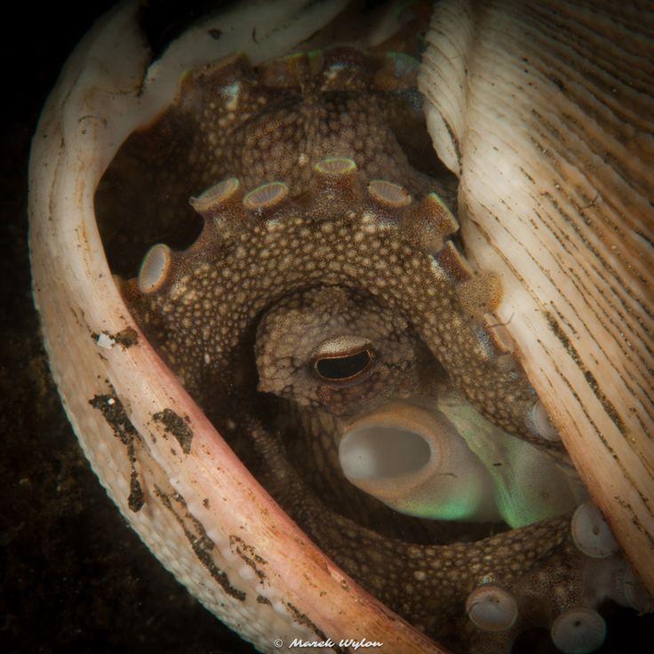 Coconut Octopus   Lembeh Strait   2011.10.11  Title: Coconut Octopus Location: Lembeh Strait Camera: NIKON D300 Lens: AF-S VR Micro-Nikkor 105mm f/2.8G IF-ED Settings: 1/250 f/36 ISO200 Housing: Subal ND300 Strobes: 2 x Subtronic Pro270  http://marek.wylon.com