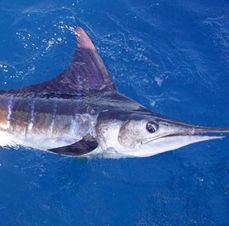Blue Marlin Fishing in Miami -Blue Marlin Fishing in Miami Beach