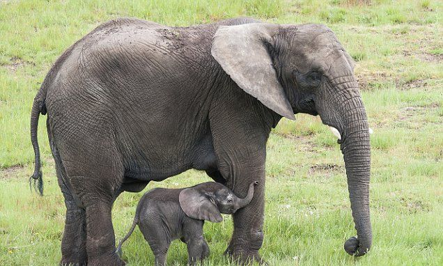 Sales of ivory including almost all antiques will be outlawed in UK #DailyMail