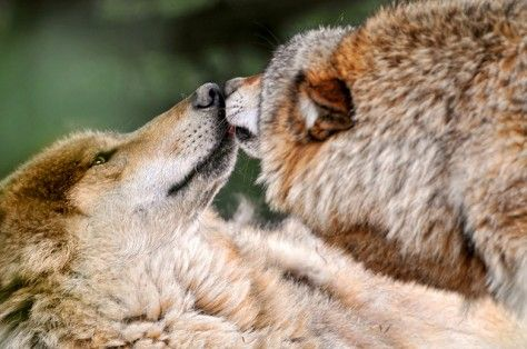 Ask the Bureau of Land Management to Protect Wild Wolves in Idaho
