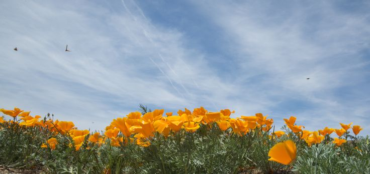 The fields in Antelope Valley are now starting to bloom for the season with bright orange poppies. Check them out before it's too late!