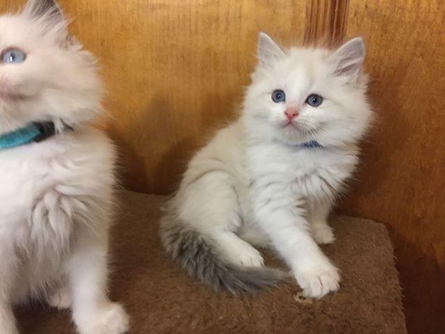 Blue Lynx Bicolor Ragdoll Kitten Www Genotypecats Com Genotypecats Ragdollcat Ragdollkittens Fluffy Kittens Cats Pe Kittens Cutest Cat Breeder Cute Cats