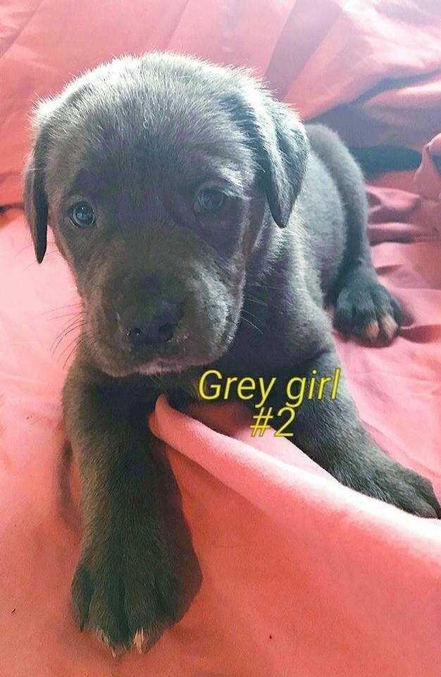 Labmaraner dog for Adoption in White River Junction, VT. ADN-617503 on PuppyFinder.com Gender: Female. Age: Baby