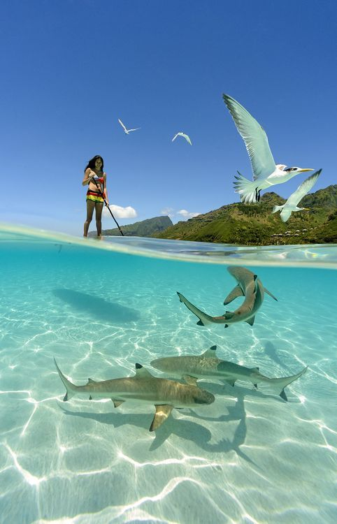 a girl paddle boarding with sharks in the crystal clear waters of French Polynesia. Photo by Chris Mclennan