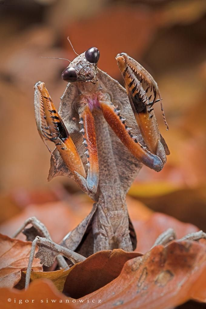 Malaysian Dead Leaf Mantis  Some look like dead leaves, some look like fresh…