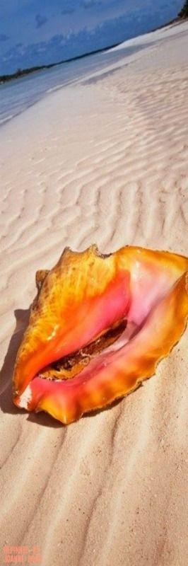Bahamas - Conch Shell