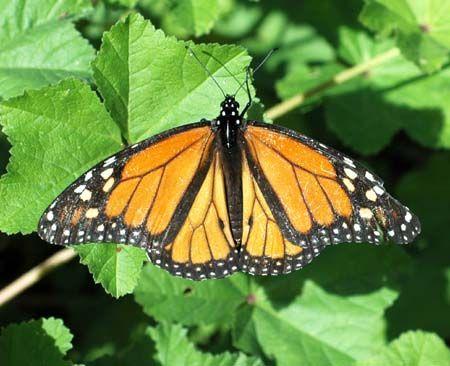 Monarchvlinder (Danaus plexippus)   De monarchvlinder komt alleen in het uiterste zuiden van Europa voor. Deze grote vlinder is een goede vlieger, die enorme afstanden af kan leggen.