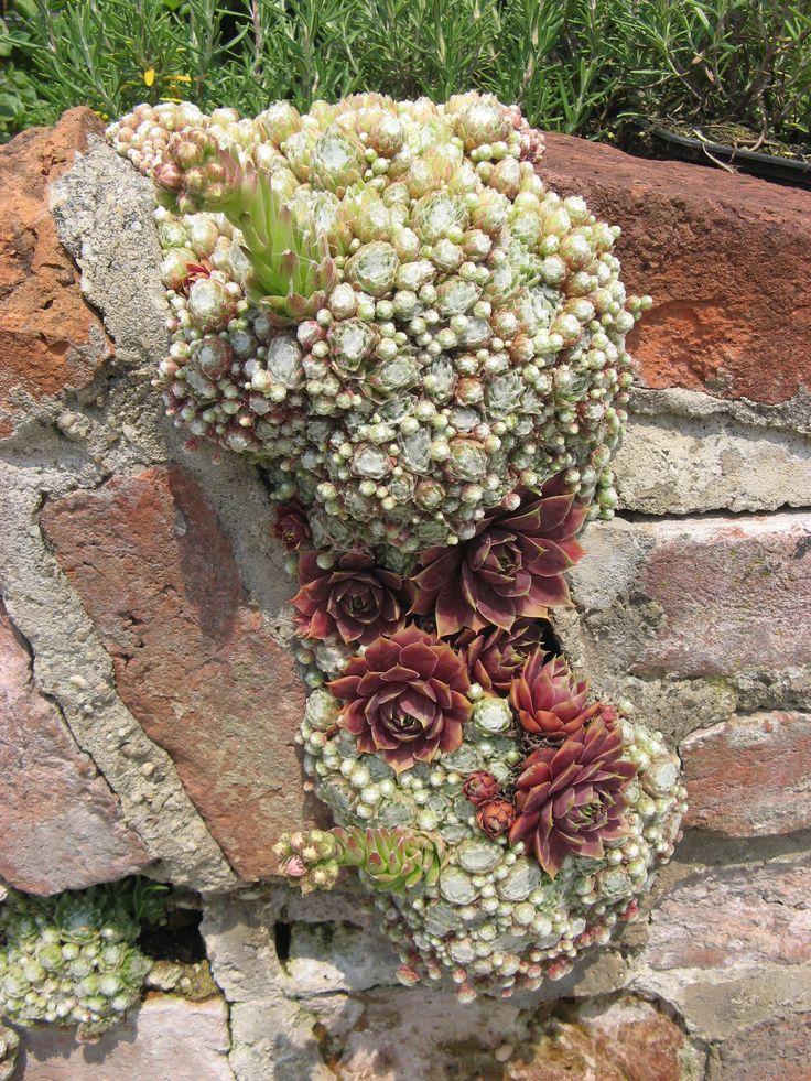 Garden Arrangements 951 best a passion for succulents images on pinterest | succulents