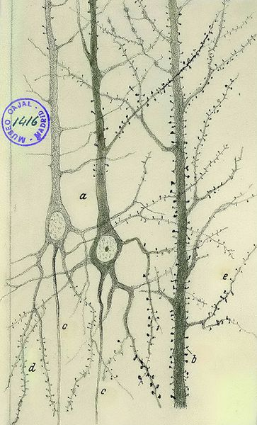 File:Cajal dendritic spines.png