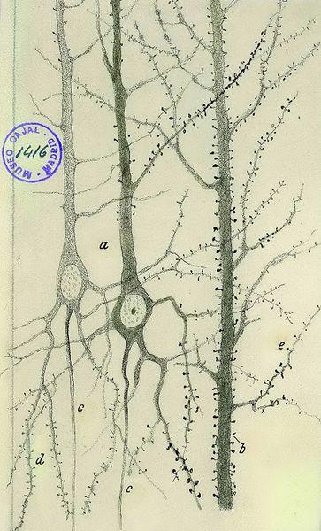 File:Cajal dendritic spines.png