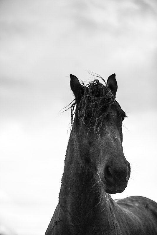 Horse Photography Black Stallion Portrait Friesian Horse