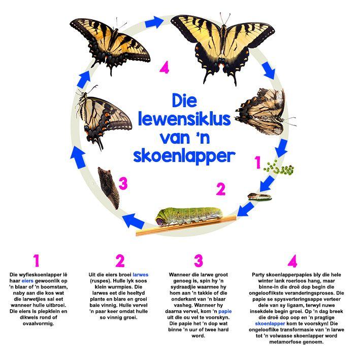 Afrikaanse taakhulp: Lewensiklus van 'n skoenlapper. Eiers. Larwes. Papie. Skoenlapper.  Siklus. Hoezit. Diere. Animals.