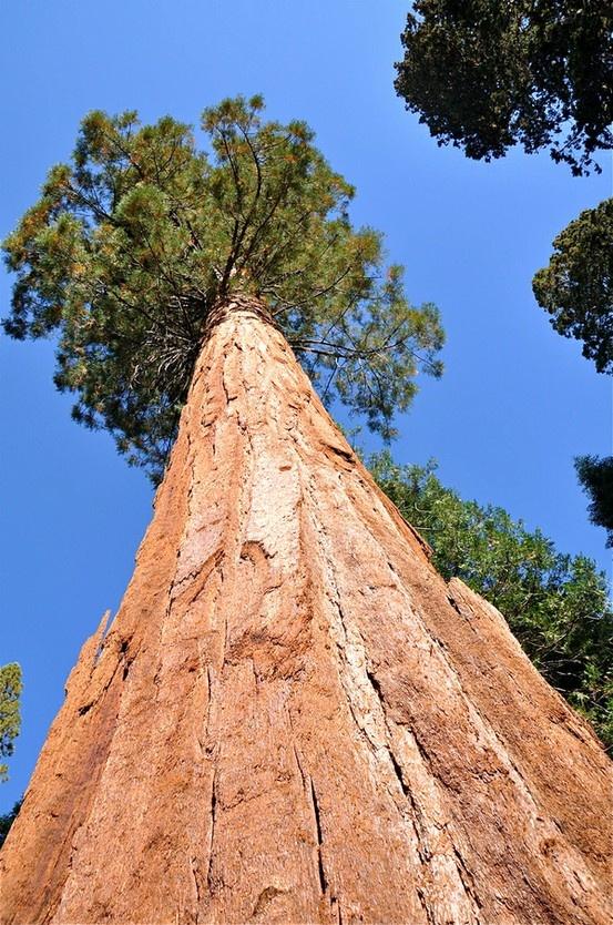 California's Giant Sequoia Trees