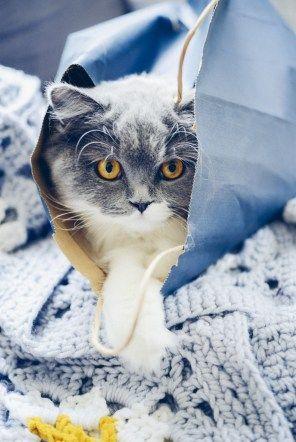 Je vous livre les conseils donnés par mon éleveuse, mon véto et ma toiletteuse pour entretenir le pelage d'un chat british longhair. Vanessa Pouzet le blog