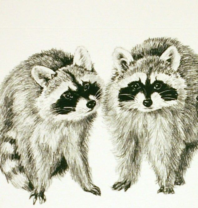 Line Drawing Raccoon : Best images about raccoons drawings and paintings of