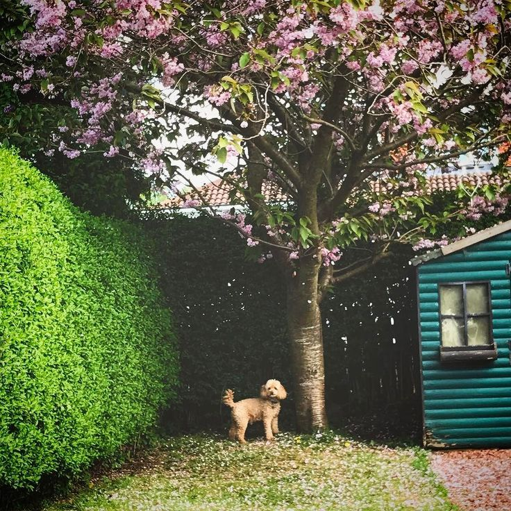 Enjoying the sunshine with my wee bear  #poodle #poodlesofinstagram #poodle #poodles #apricotpoodle #dogsofinstagram #dogstagram #dogsofinsta #dogs #cherryblossom #cherryblossoms