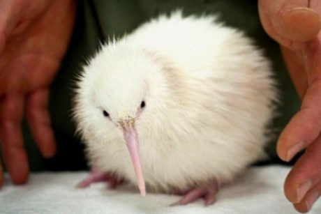 The Kiwi a New Zealand icon but this one is rare because it is white. They are usually brown.