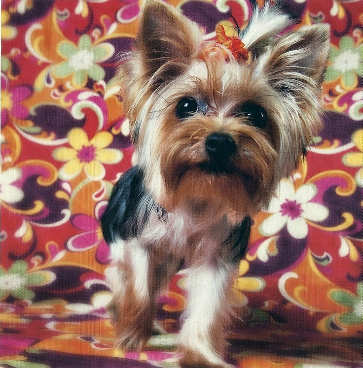 Yorki....this is what i want when i move out!Girls Yorkie, Adorable Furries, Dreams Dogs 3, Yorkie Tinker, Yorkie Luv, Yorkie Lovers 2, Furries Friends, Adoro Estes, Animal