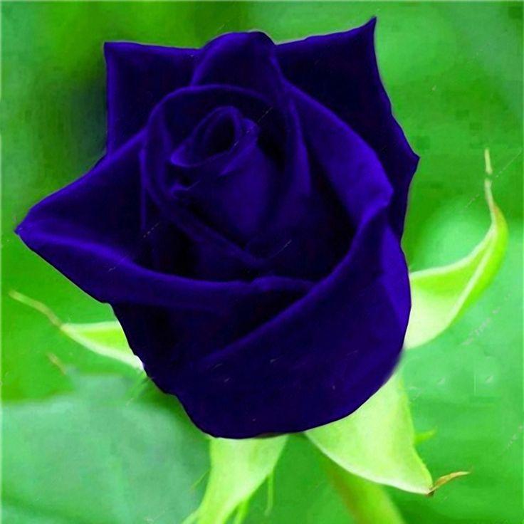 1370 best roses images on pinterest plants pretty