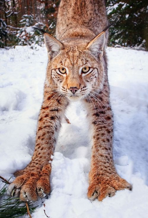 Worksheet. 14 best Lynx the worlds most beautiful animal images on