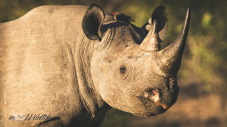 Black Rhino Up-Close & Personal ©inXSWildlife #wildlifephotography #inxswildlife #blackrhino #wildlife #krugernationalpark #rhino