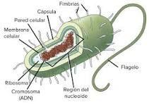Las células procariotas  son las unidades básicas de algunos seres vivos, como algunas bacterias. Son simples y no tienen núcleo definido: su material genético (como el ADN) está libre en el citoplasma, es decir, el material que está dentro de la membrana plasmática en la célula.