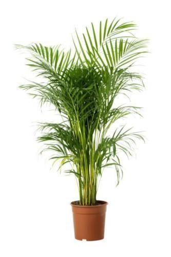Areca Palm Indoor Outdoor Palms Online Lawnkart