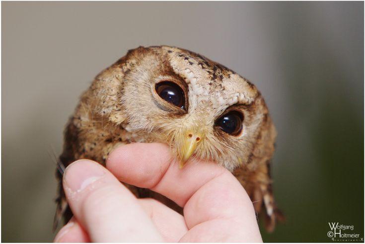 D'Aww!: Animal Kingdom, Animal Porn, Baby Owl, Chicken Fingers, Hooti Owl, Owl Cuddling, Pet Owl, Eye, Heart Owl