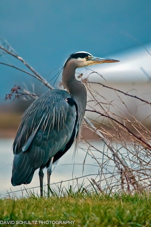 Great blue herons are common near open water and wetlands over most of North and Central America, as well as the Caribbean and Galápagos Islands. They are, however, only rare vagrants to Europe.
