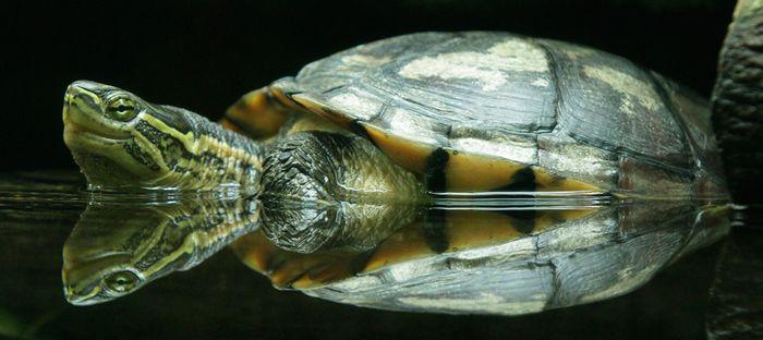 Annam Leaf Turtle
