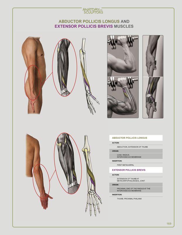 28 best Anatomy for Sculprtors images on Pinterest | Anatomy ...