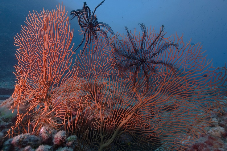 Sea fans and sea stars on the Great Barrier Reef. Plenty of caravan parks and tent sites all along the north Queensland coast for you to pitch a tent.