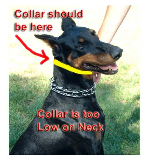 Leerburg Dog Training | How to Fit a Prong Collar.....Really???? Let me fit this on you and see how it works. Barbaric and totally unnecessary....