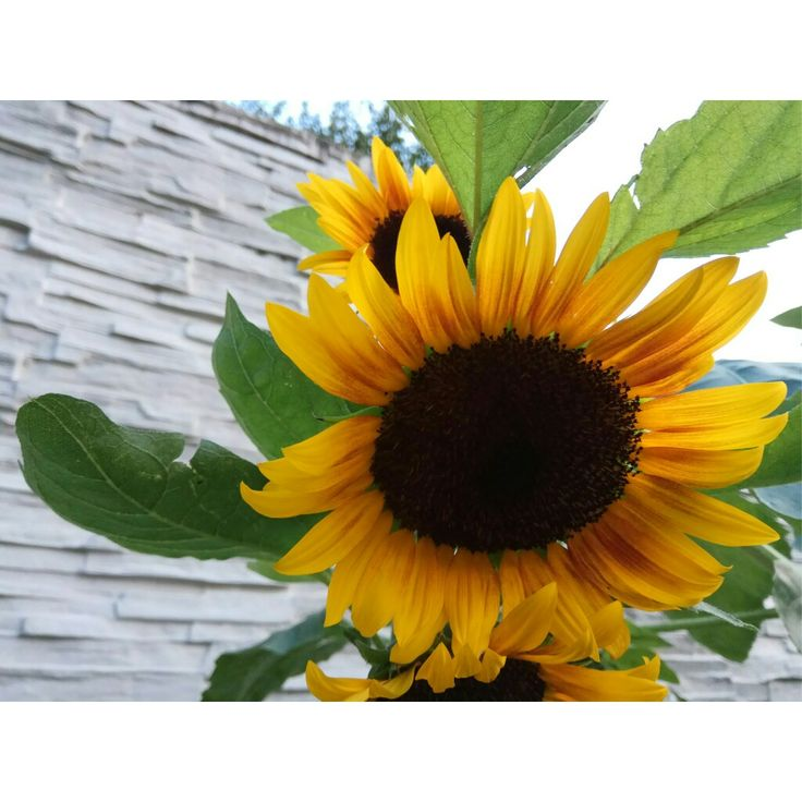 Sunflower 🌻🌞🔆🌻☀🌅🌄🌇 Flower Beautiful Green Yellow Plant