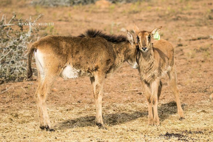 Sable calf lovies #photography #bucklandsprivategamereserve  #sable #sablebreeding #sablecalves #bucklandswildlife #africa #southafrica