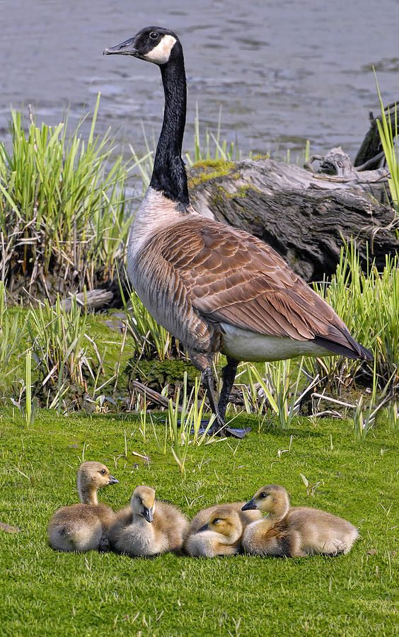 Canada Goose With Young by Dave Mills