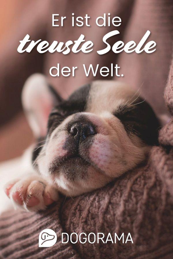 Hunde Sind Eine Treue Seele Egal Was Kommt Sie Belugen Dich Nie Hundeliebe Hund Zitat Finde Hundefreu Mit Bildern Hunde Schlafen Schlafende Welpen Gute Nacht