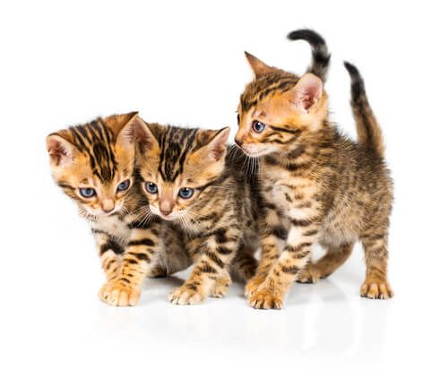 Bengal Cat Names. Noah. Noah represents a Hebrew masculine name that means comfort and rest. Milo. This name was derived from the name of the cat in the movie known as the Milo and Otis. Atlas. Atlas means one who endures/ suffers. Harley. Arthur. Nemo. Bongo. Alex.