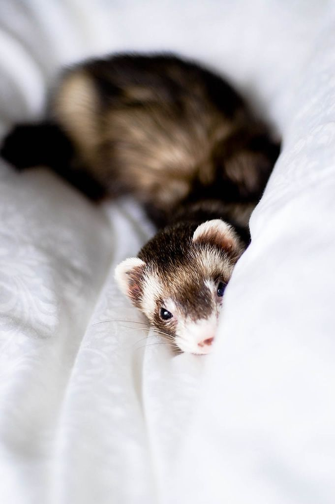 Ferrets (this one looks very mischievous)- ( I was gonna say, sweetness with a hint if mischievousness. ) *waves hi to Cindy!*